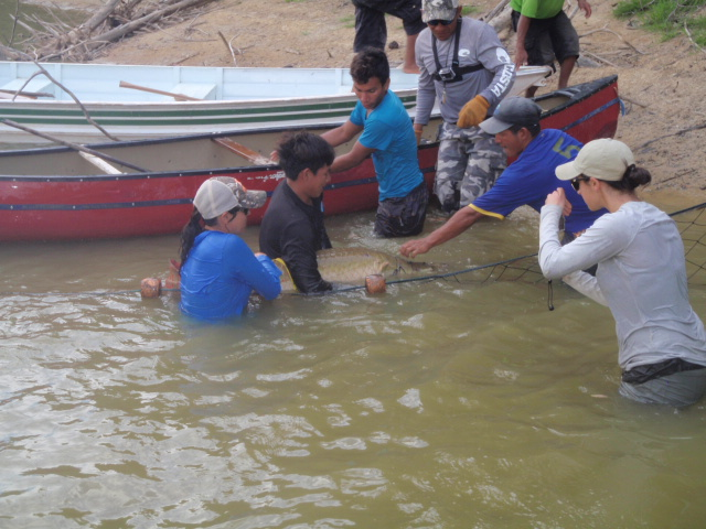 An Arapaima is freed from the seine net by staff and Amerindian crew.