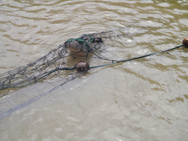 This 2.5m Black Caiman was brought up in the seine. It was released without harm to either the Caiman or the crew.