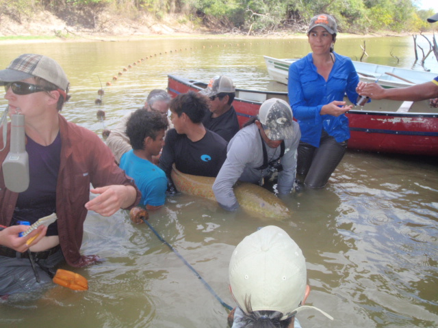 Getting ready to tag the Arapaima.
