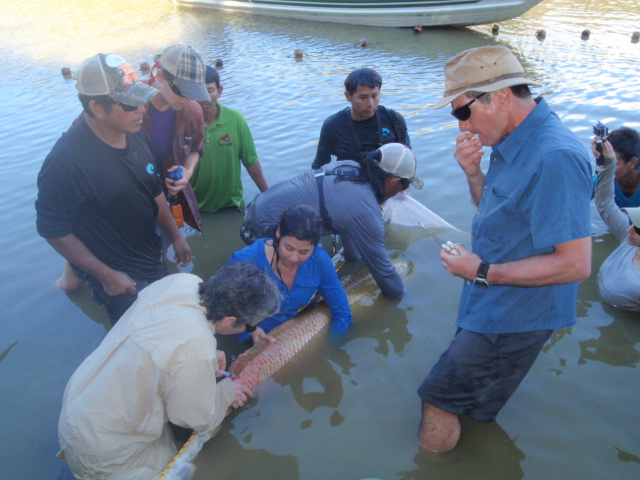 Taking blood and tissues from the tagged Arapaima.
